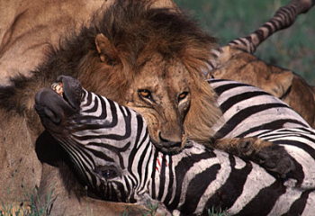 Lion killing a zebra